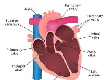 What Happens If the Valves of the Heart Do Not Function Properly?